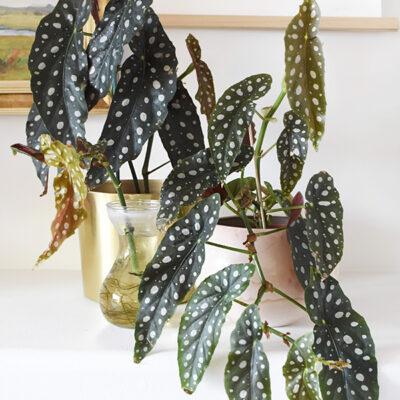 1-Angel Wing Begonia Propagation