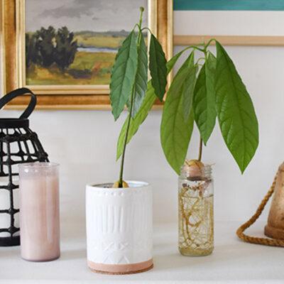 1-Avocado Plant
