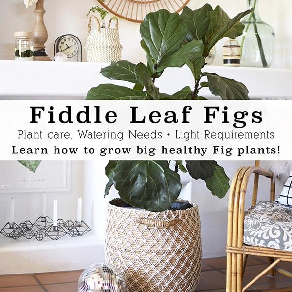 Fiddle Leaf Fig Care + Tips