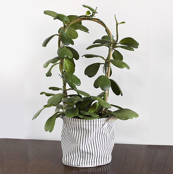 Hoya Kerrii Plant Care + Tips