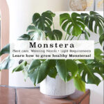 1-Monstera Care-1