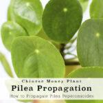 1-Pilea Propagation