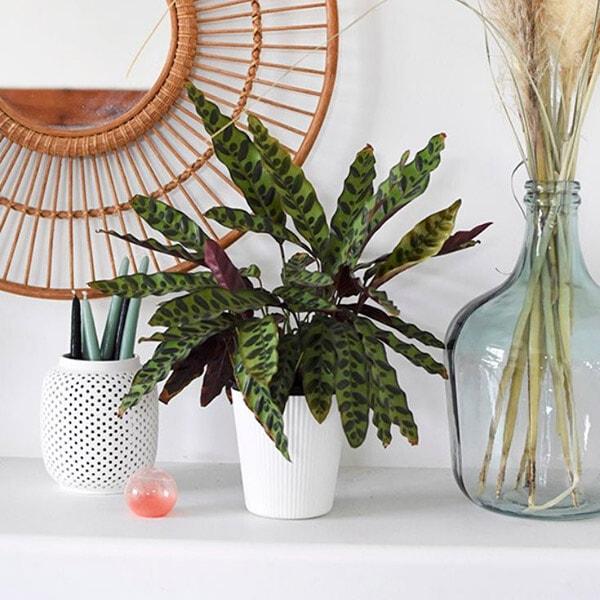 Prayer Plant Care + Tips