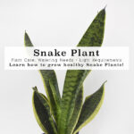 1-Snake Plant Care