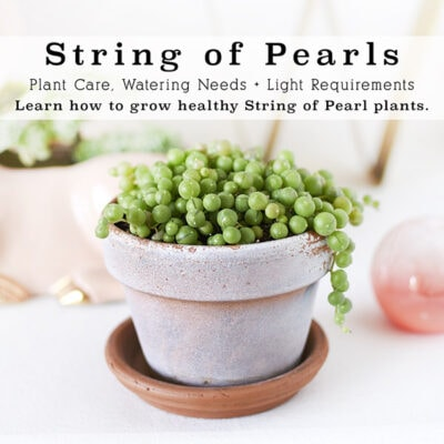 1-String of Pearls care
