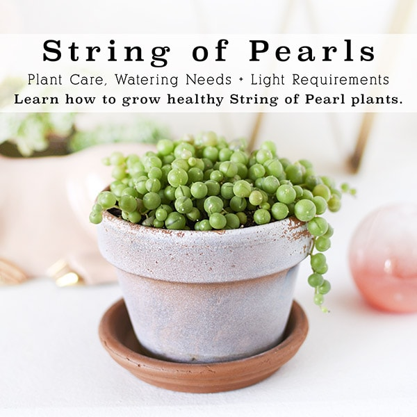 String of Pearl Plant Care Tips
