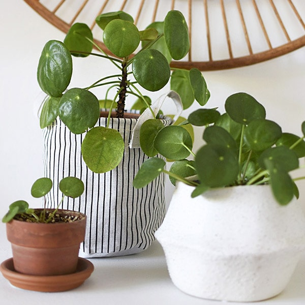How to Propagate Pilea
