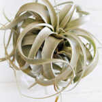 1-Air plant tips