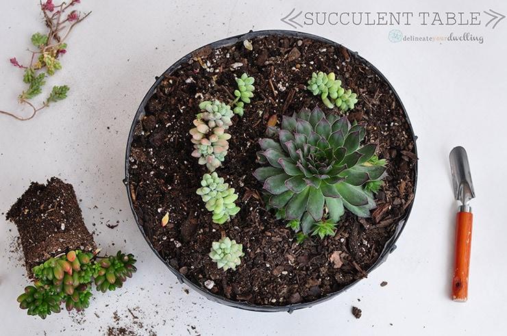 Succulents in soil