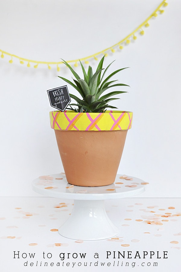 It is much easier than you think to grow a pineapple!  See my tips for growing a pineapple from an existing fruit.  Also check out the fun tutorial for painting a DIY Pineapple Pot. Delineate Your Dwelling #growapineapple #pineappleplant #pineappleDIY #pineapplecraft