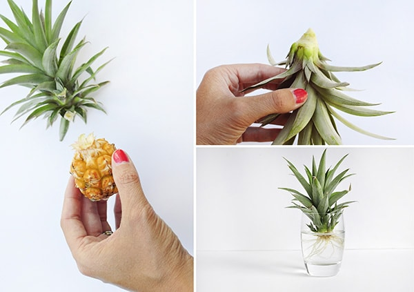 Crafting Steps How to Grow a Pineapple steps