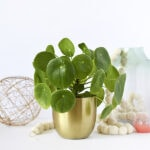 1 Pilea Care Best Tips