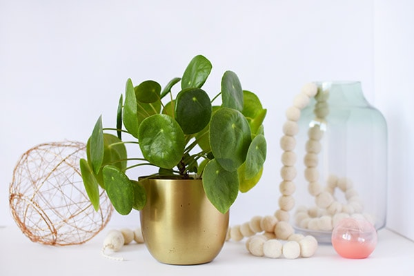 Pilea Care and Best Tips, Delineate Your Dwelling