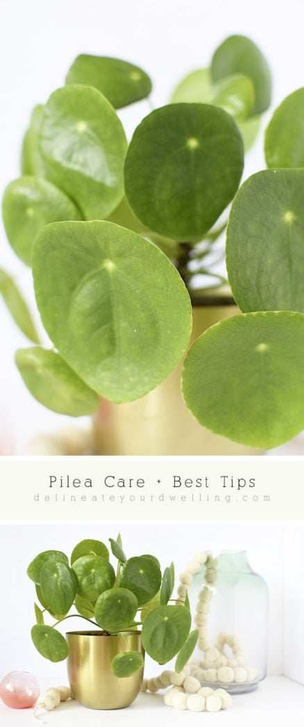 Pilea Care and Best Tips : Watering tips, sunlight needs and why do the Pilea leaves curl? Delineate Your Dwelling #pileacare