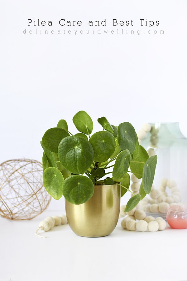 The best tips on how to care for Pilea! Help on their watering needs, propogating, light amounts and even where to buy a Pilea Peperomioides. Delineate Your Dwelling #pileacare #pileawater #pileatrend #pileaplant #pilealight