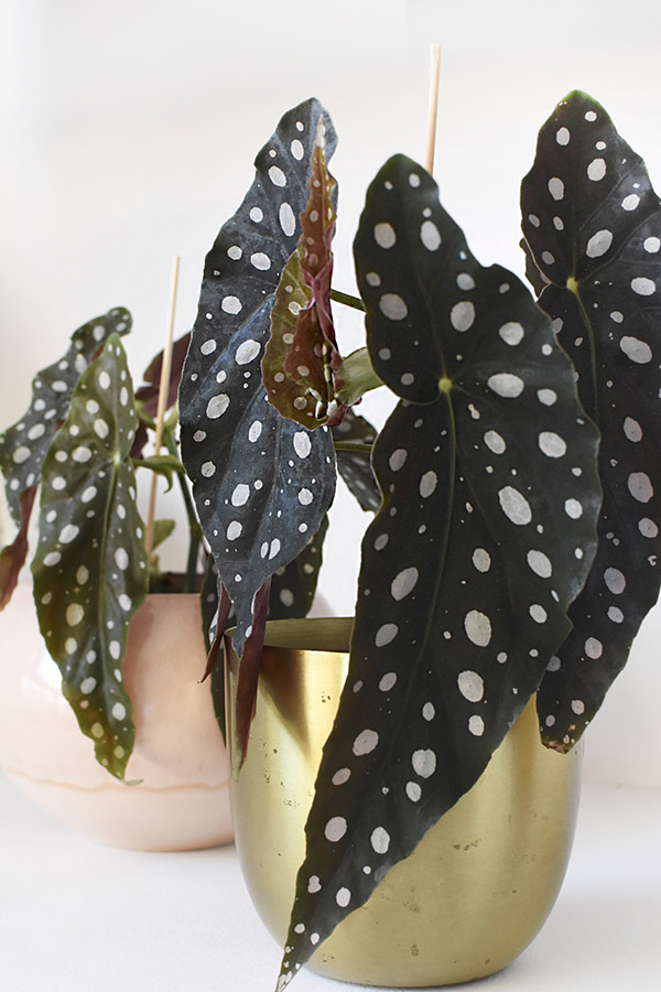 Angel Wing Begonia polka dots