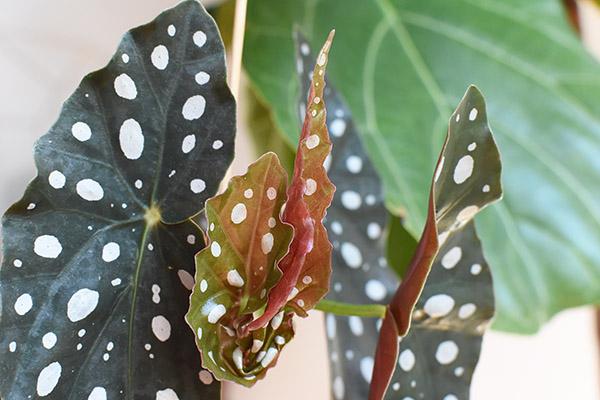 Angel Wing Begonia new leaf