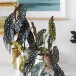 Propagating Angel Wing Begonia