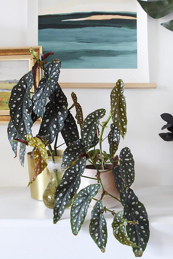Angel Wing Begonia plants