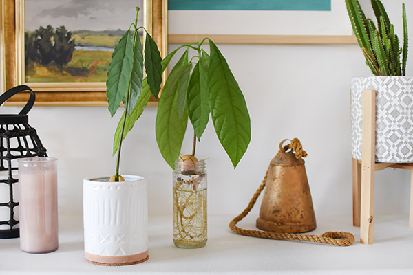 Growing Avocado Plants