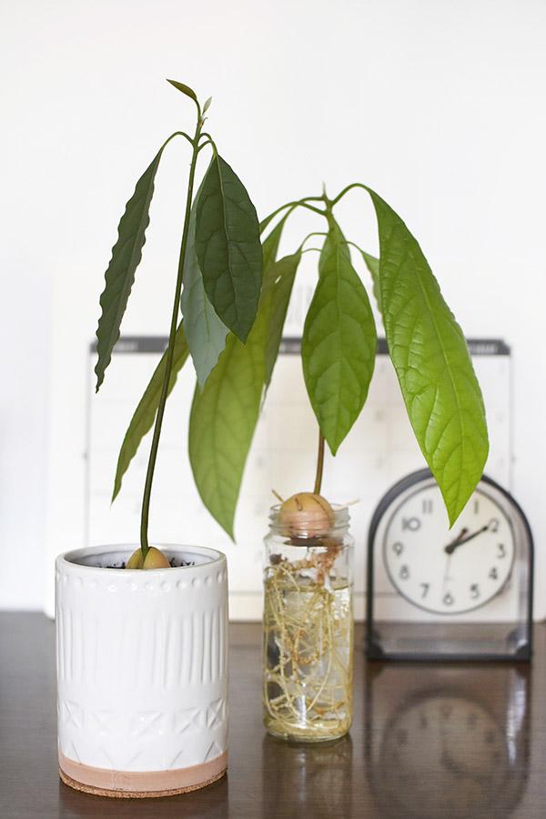 Growing an Avocado Plant