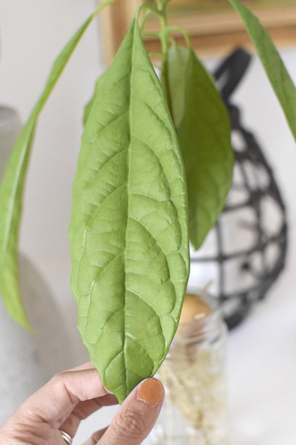 Avocado Leaf size