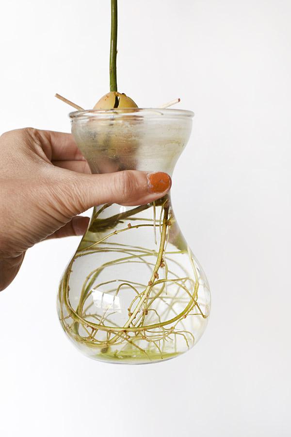 Avocado Plant roots