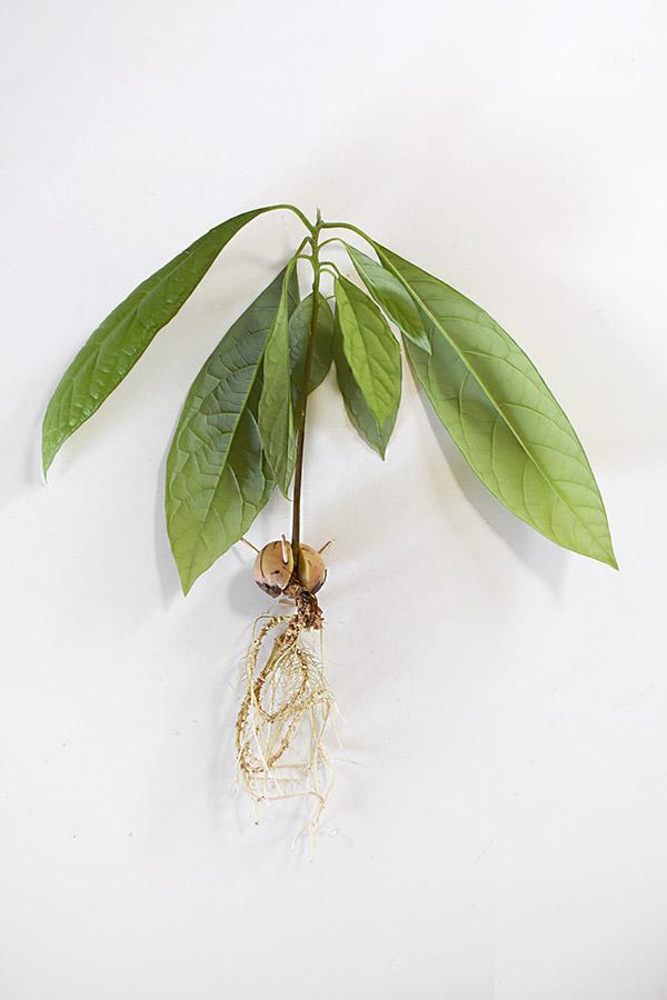 Avocado Plant bare roots