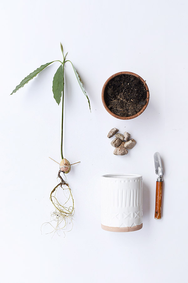 Planting an Avocado Plant
