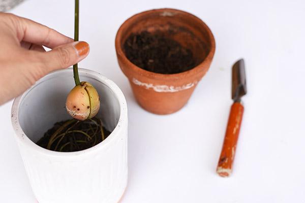 Planting an Avocado seed