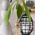 Avocado Plant from seed