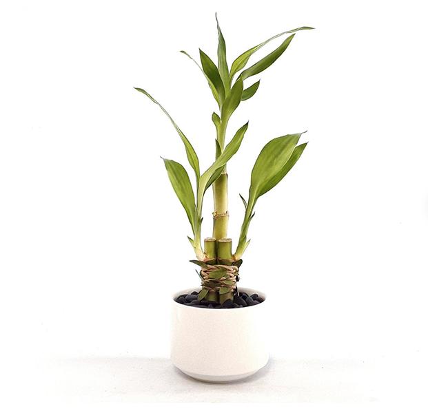 Low Light - Bamboo