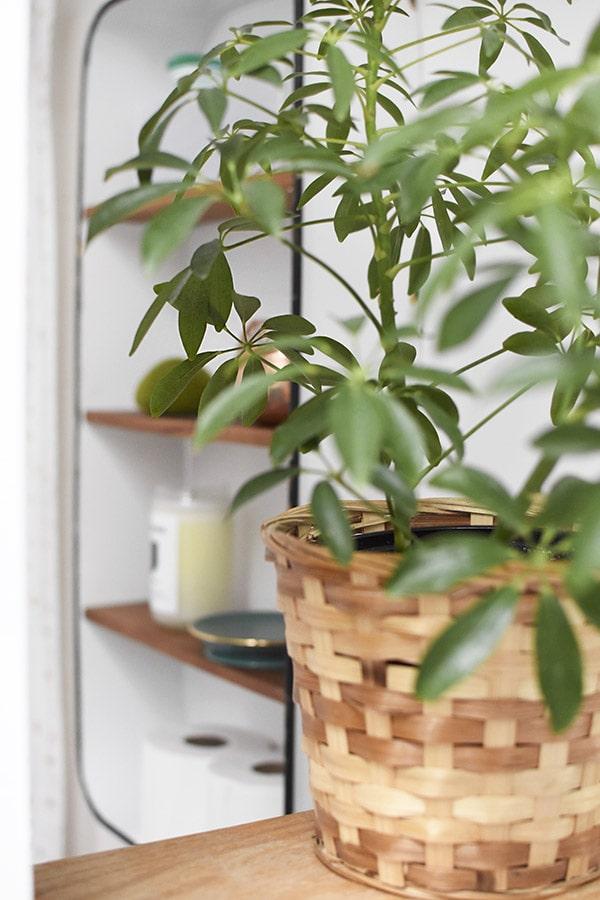 Umbrella Plant Bathroom plant