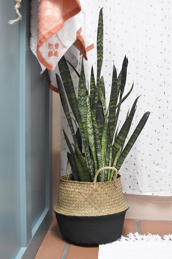 Snake Plant in the bathroom