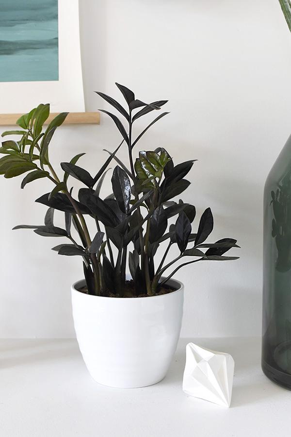 Black Raven ZZ in white pot