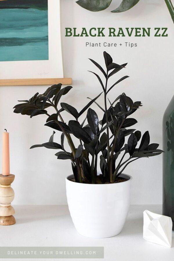 Black Raven ZZ Houseplant care