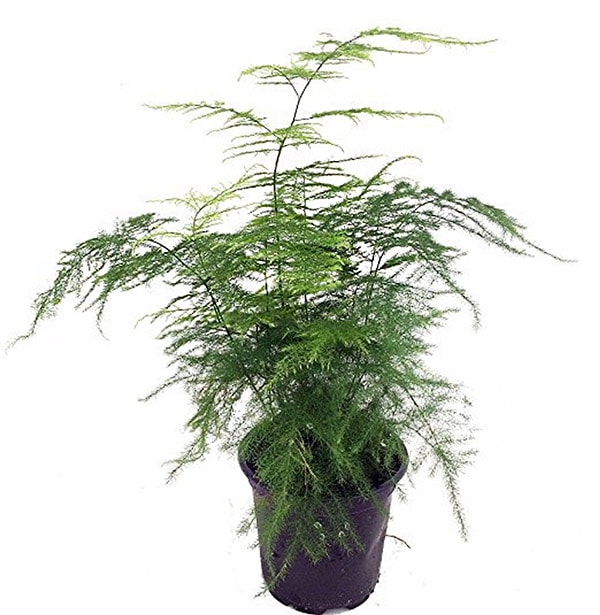 Can't Kill Asparagus Fern Plant