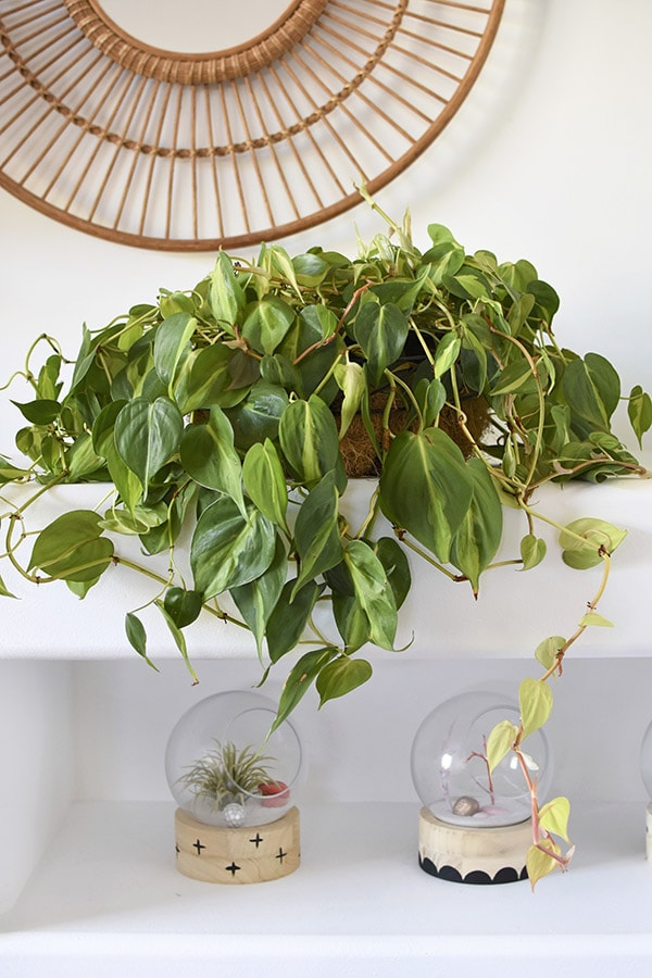 Can't Kill Philodendron Plant