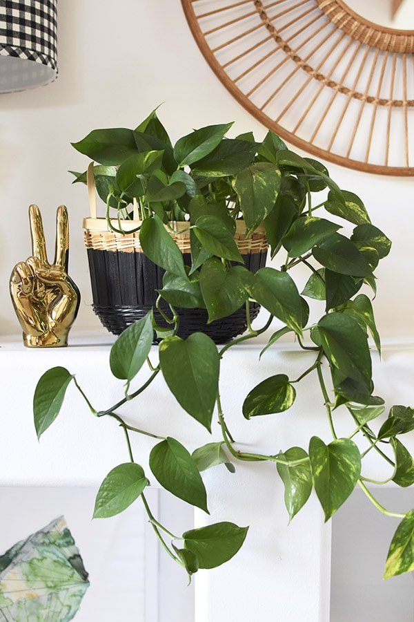 Can't Kill Pothos Plant