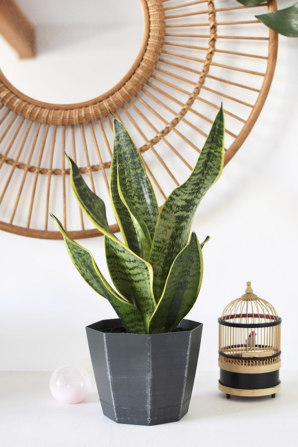 Can't Kill Snake Plant