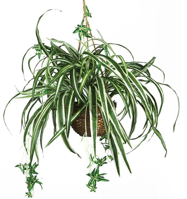 Can't Kill Spider Plant
