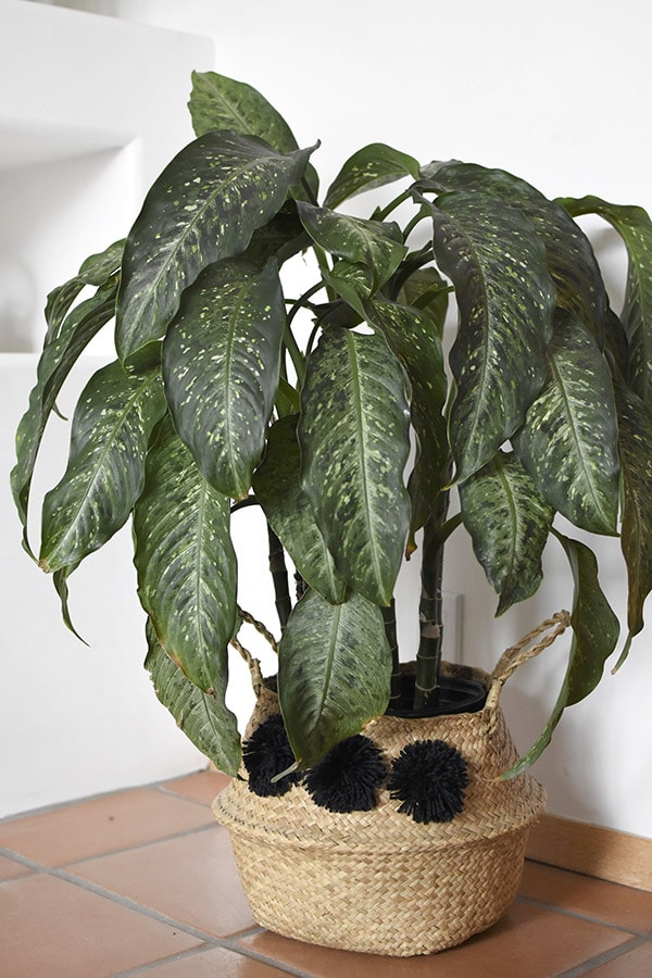 Dumb Cane plant care and tips