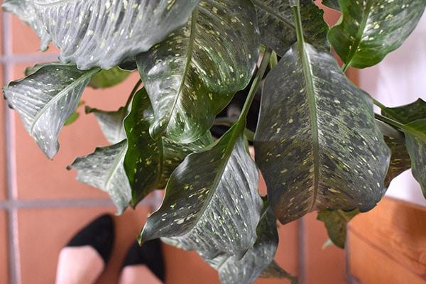 Dumb Cane plant leaves