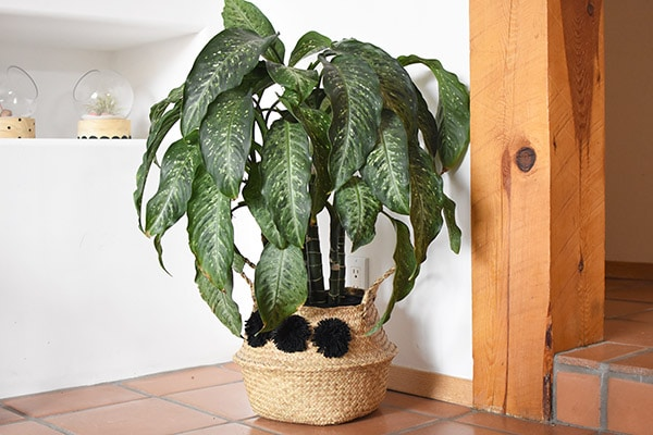 Dumb Cane plant overall shape