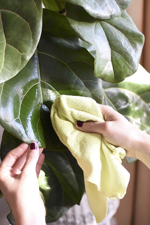 Dusting your Plant Leaves with a Microfiber cloth