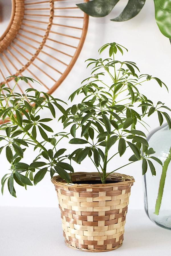 Low Light Plant - Dwarf Umbrella