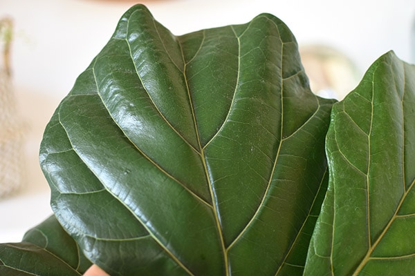 Fiddle Leaf Fig leaf zoom
