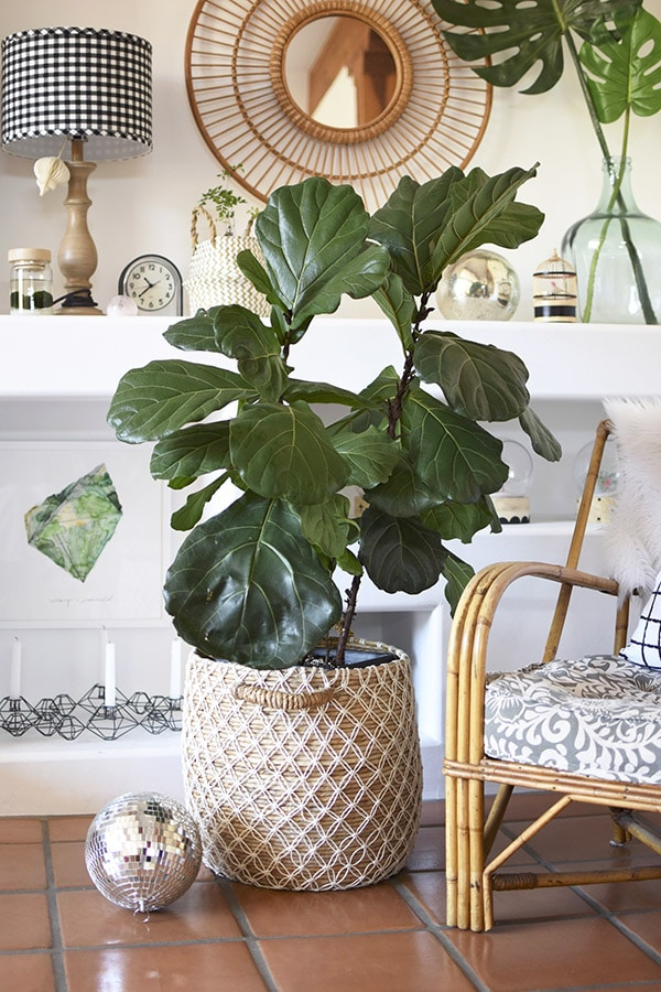 Fiddle Fig Pot and chair