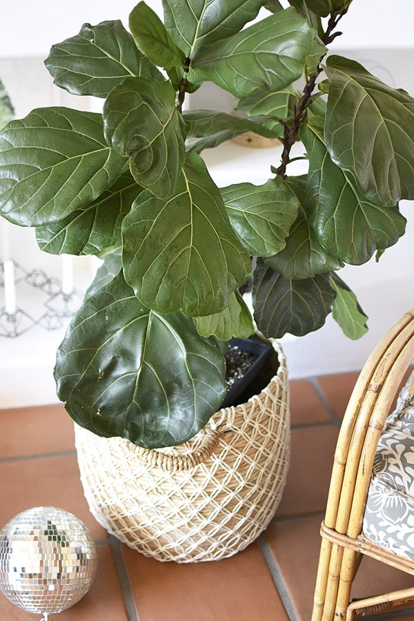 Fiddle Leaf Fig disco ball