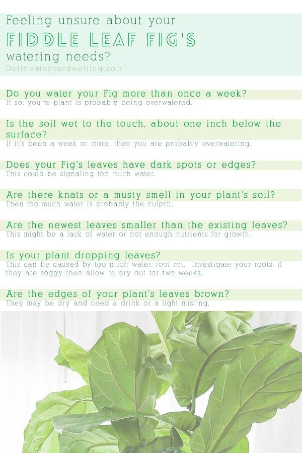 Fiddle Leaf Fig water needs checklist